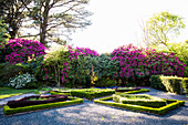 Beetroot beds and blooming rhododendron in the garden