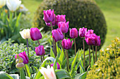 Purple and white tulips in flowerbed