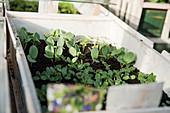 Summer flowers seedlings in sowing