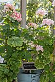 Geranium 'Emma Fran Bengtsbo' and 'Appleblossom'
