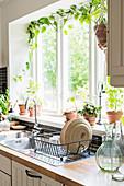 Efeutute rankt am Küchenfenster über der Spüle