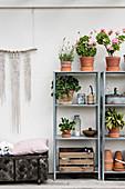 Plants in terracotta pots on two sets of metal shelves on terrace
