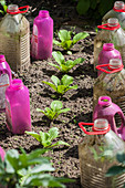 Plastic bottles used as growing bells in a vegetable patch
