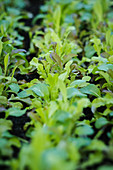 Row of cut-and-come-again lettuce