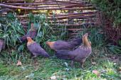 Danish hens