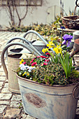 Metal bucket garden with daffodils, crown anemones and violets