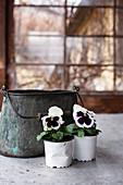 Violas in plastic pots