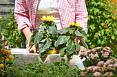Woman placing sunflowers in planter on DIY raised bed