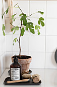 Small fig tree behind washing-up utensils in corner against white tiled walls