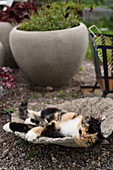 Cat lying in dish in front of planters in garden
