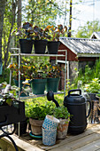 Potted herbs and watering can next to plant pots on metal shelves on wooden terrace
