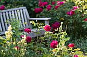 Holzbank im Garten zwischen blühenden Rosen