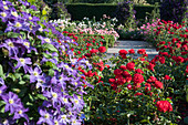 Roses and clematis in combination