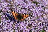 Butterfly 'Small tortoiseshell' on flowering thyme