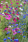 Flower meadow with garden cosmos and cornflowers