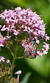 Sechsfleck-Widderchen auf Verbenen-Blüte