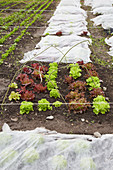 Bed of lettuces
