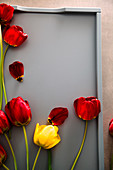 Red tulips on tray