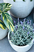 Blooming lavender in a gray stone jar