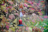 Candle lantern hung in guelder rose bush