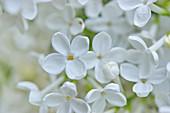 Detail von weißen Fliederblüten