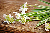 Double snowdrops on old wooden board