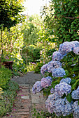 Blue hydrangea by the garden path