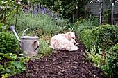 Dog dozing on path of bark mulch