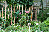 Picket fence with rose 'Leonardo da Vinci' and watering can