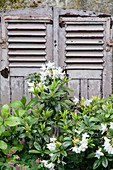 White rhododendron in front of antique window shutters