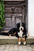 Bernese mountain dog in front of wooden front door with classic metal doorknocker
