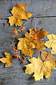 Autumn leaves and sprigs of berries for decorating autumnal table