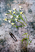 Snowdrops with secateurs on a metal background