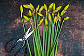 Daffodils with secateurs on a metal background