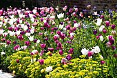 Colorful tulip bed