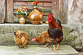 Cockerel and hens on stone step in front of jugs of flowers