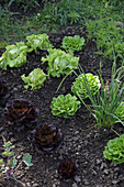 Various lettuces in vegetable patch