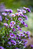 Purple blooming