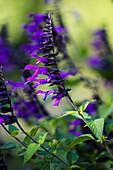 Guarani sage (Salvia guarantica)