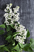 White lilac on black surface