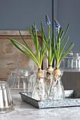 Grape hyacinths with bulbs in glass jars
