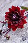 Deep red dahlia