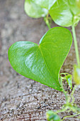 Heart-shaped ivy leaf