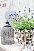 Lavender in basket and lantern