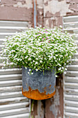 Gypsophila in rusty bucket