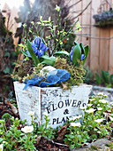 Pot of hyacinths in spring garden