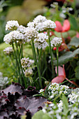 White alliums in garden