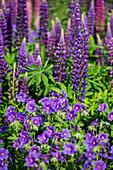 Cranesbill and lupine in the garden