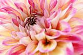 Close-up of dahlia
