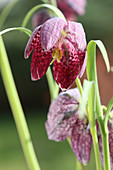 Snake's head fritillary against blurred background